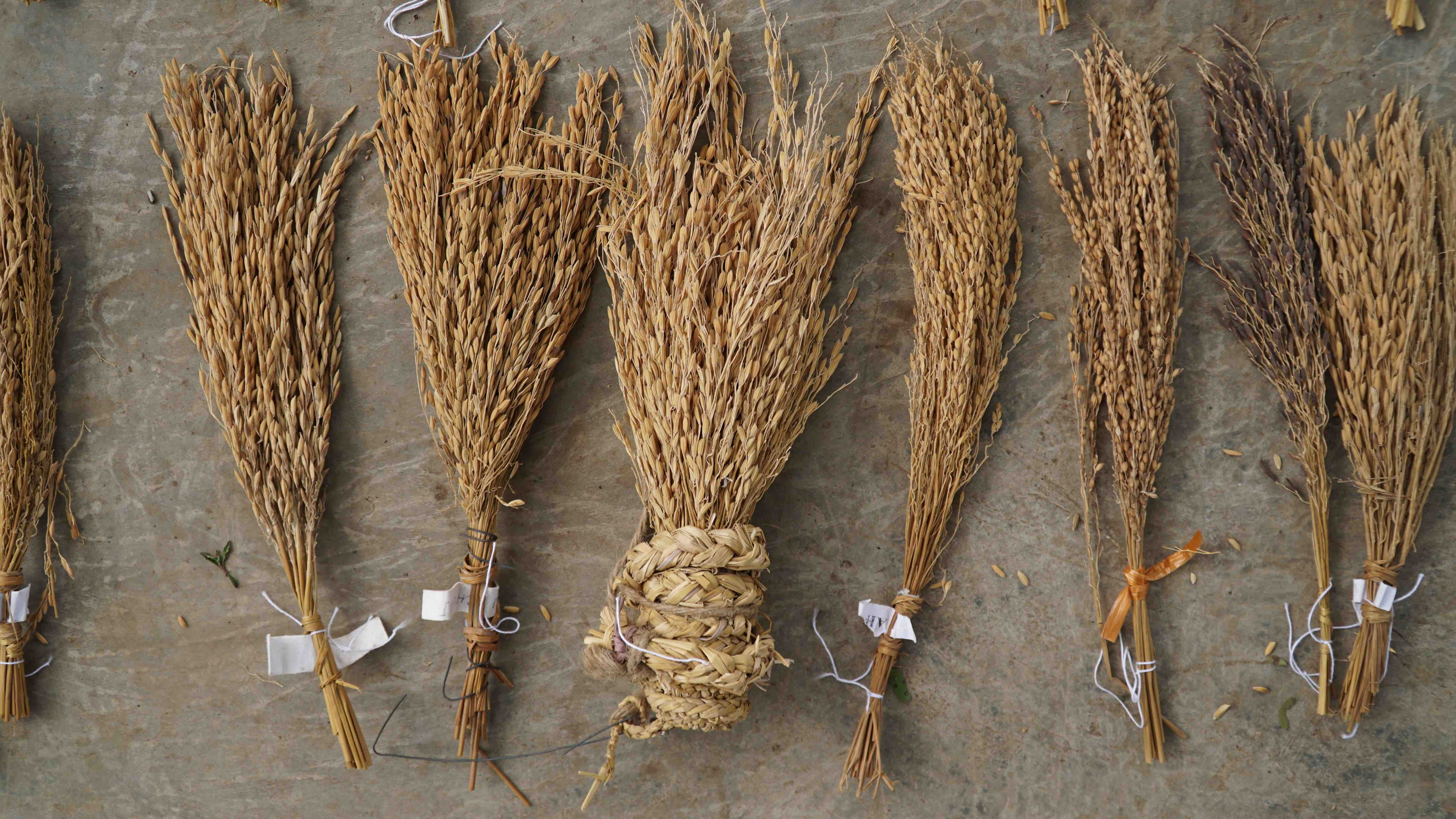 Where is our Oryza? – Hybrid Rice in India and its impacts on Farmers' rights over seeds